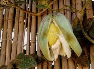 Así es la planta del miraguano.